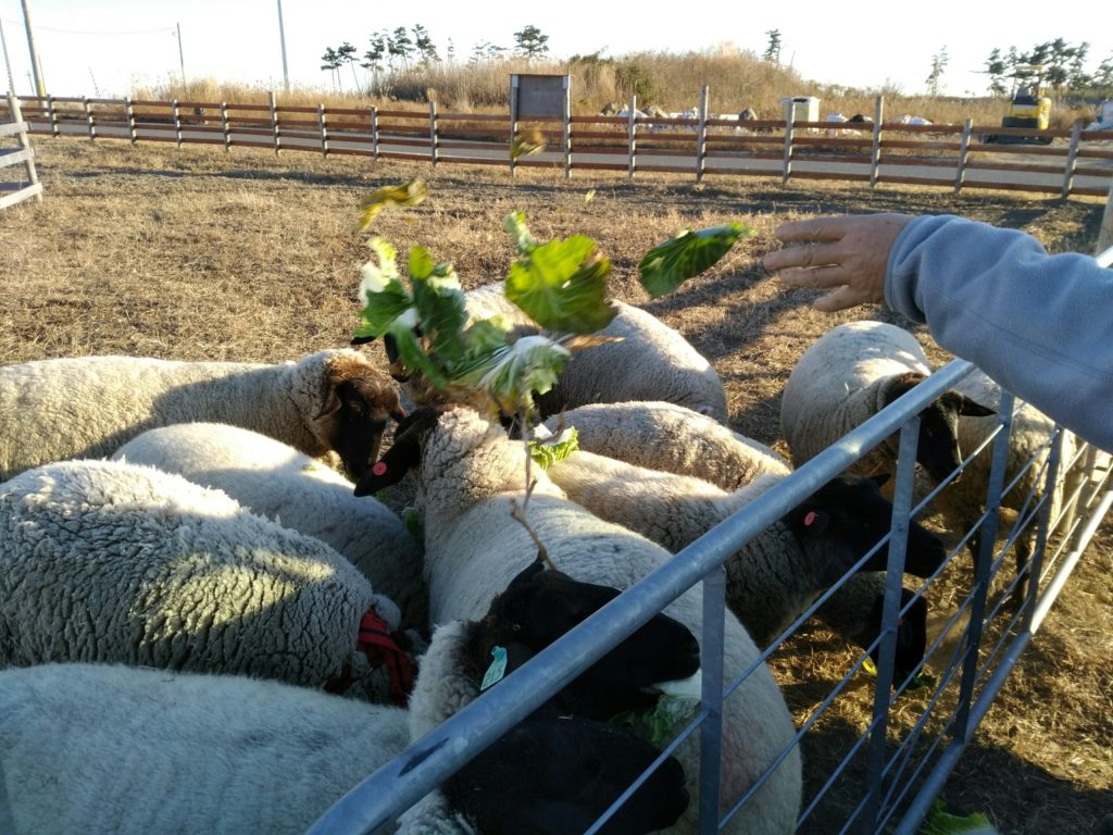 岩沼 羊に餌やり