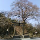 亘理町 尊久老稲荷神社 桜