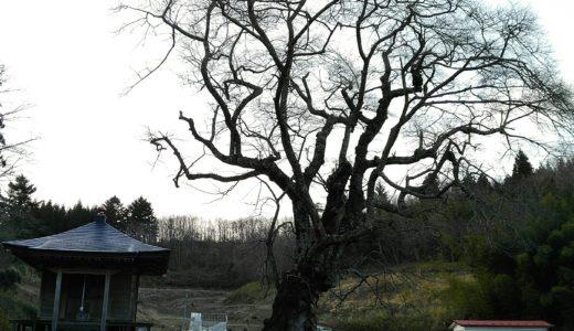 丸森町 ウバヒガン桜 |樹齢683年の春を待つ親王桜に感動!