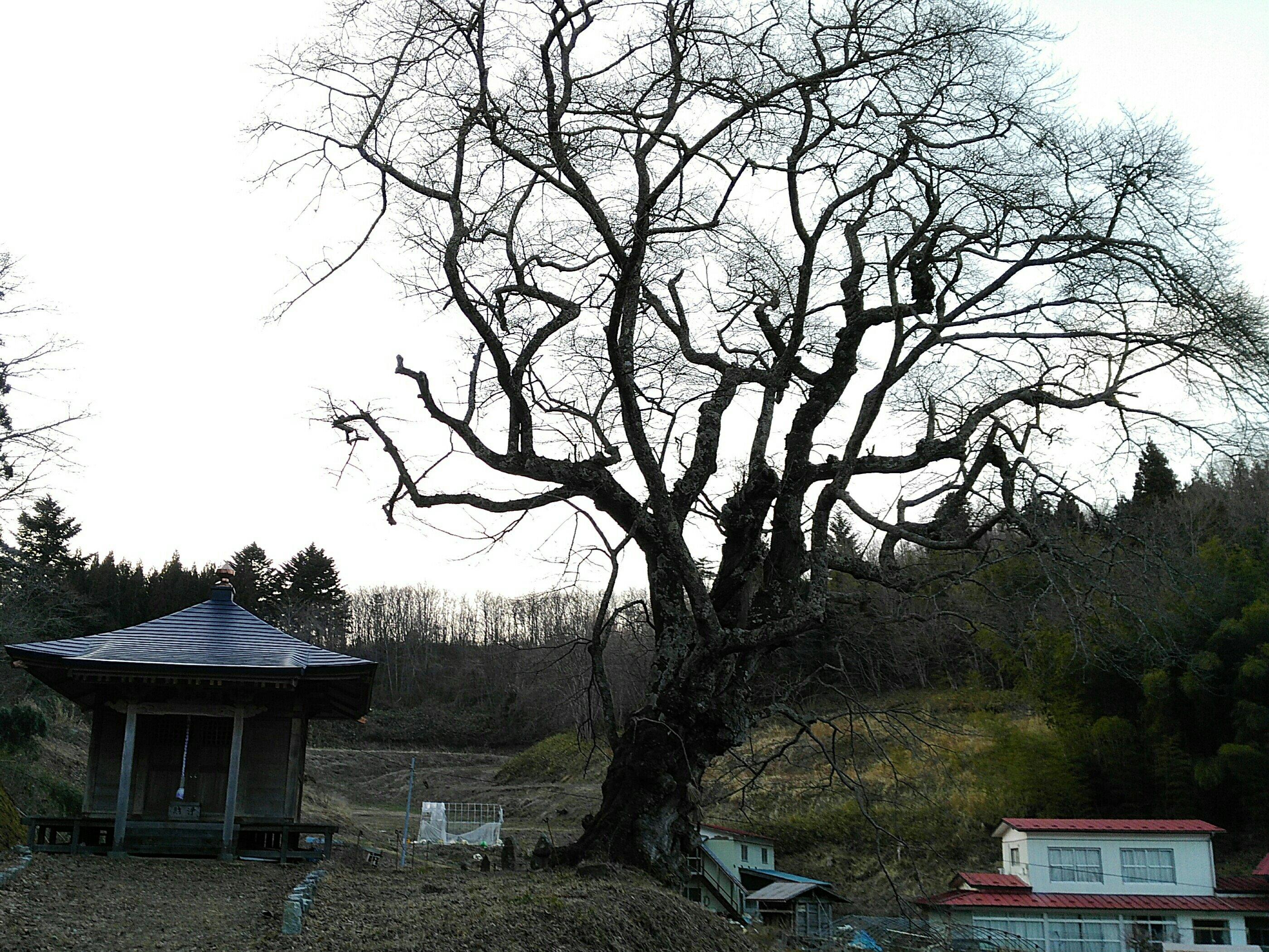 丸森町 ウバヒガン桜 薬師堂