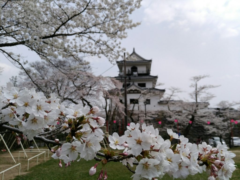 白石城 益岡公園からの桜