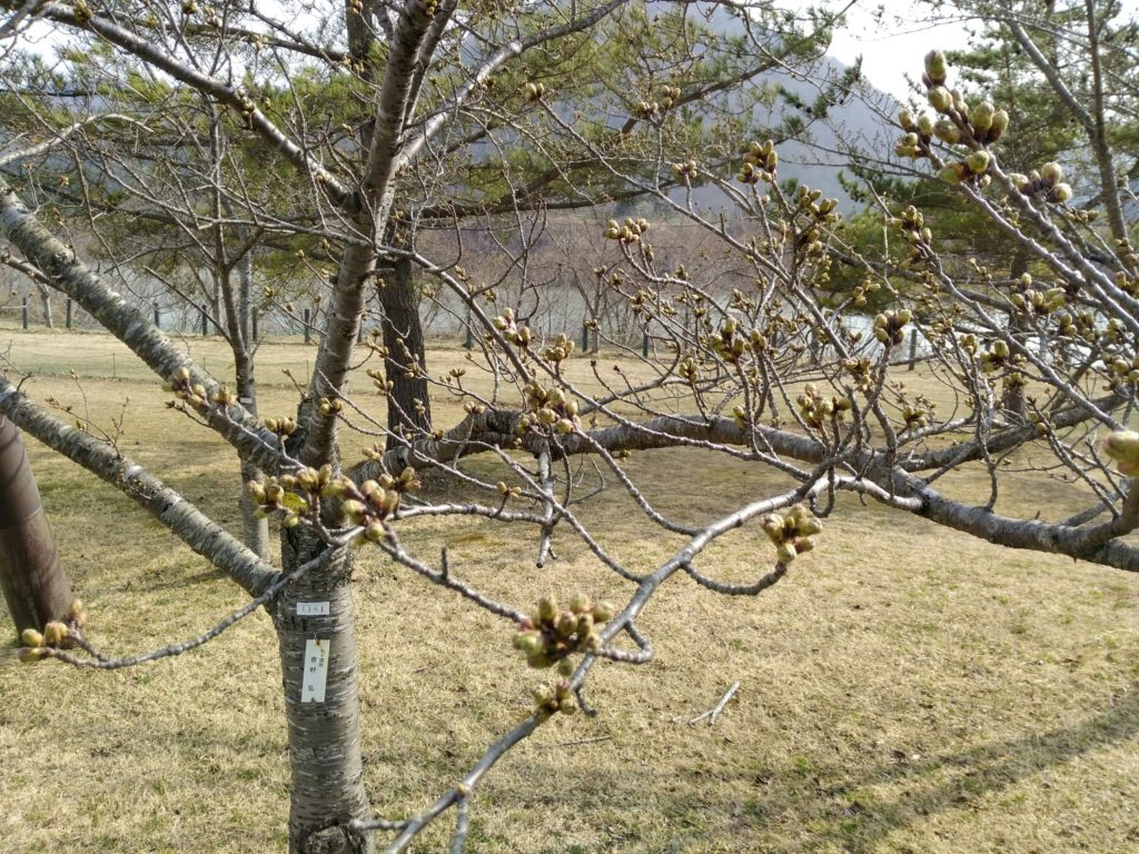 七ヶ宿公園 桜