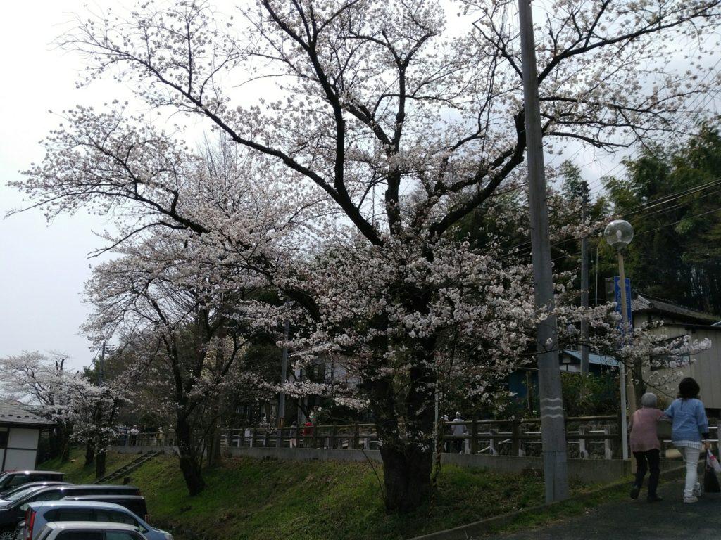 白石城 駐車場付近の桜並木