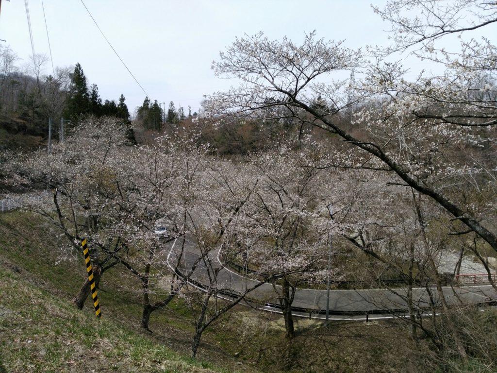 秋保羽山公衆トイレ付近の桜