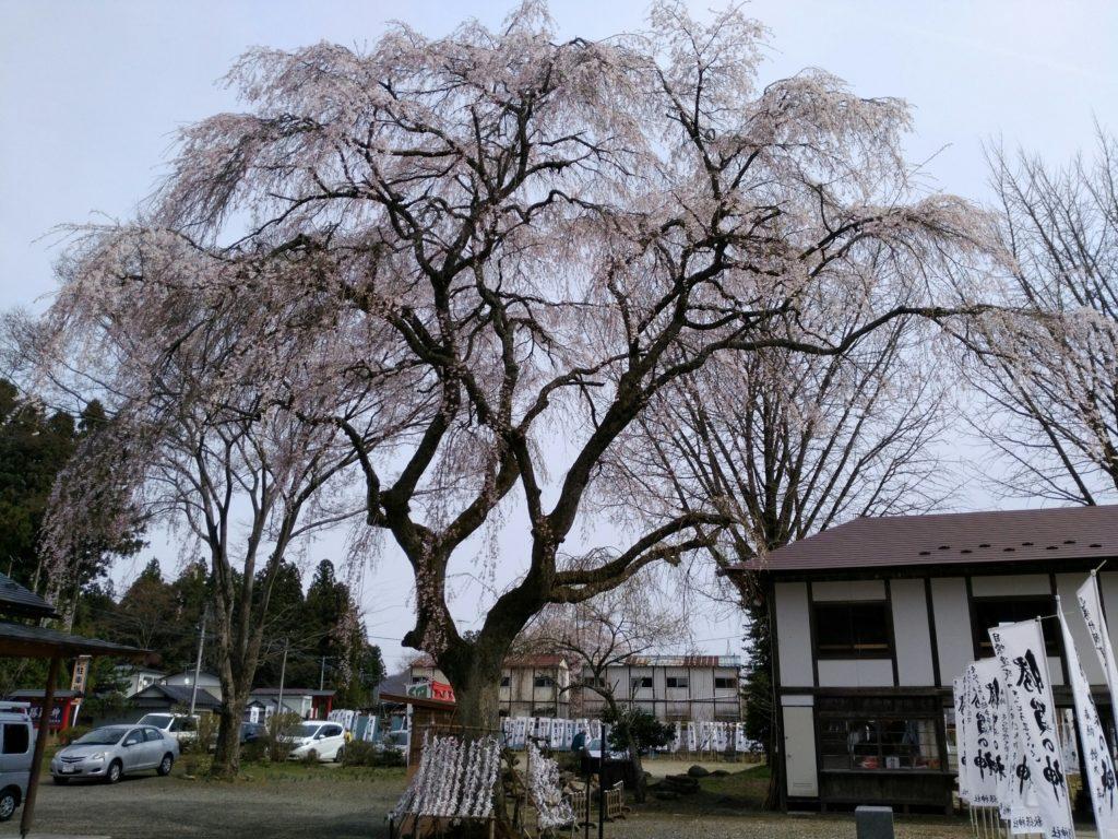 秋保神社 しだれ桜