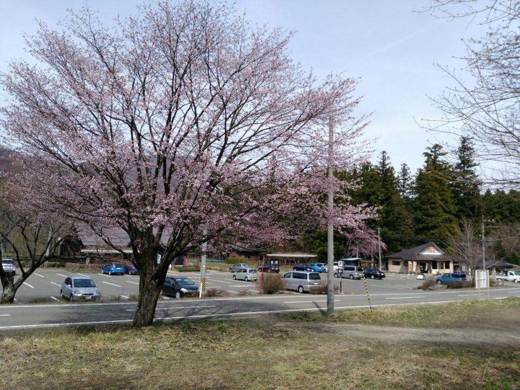 秋保大滝不動尊 駐車場の桜