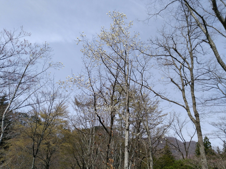 秋保大滝植物園 桜