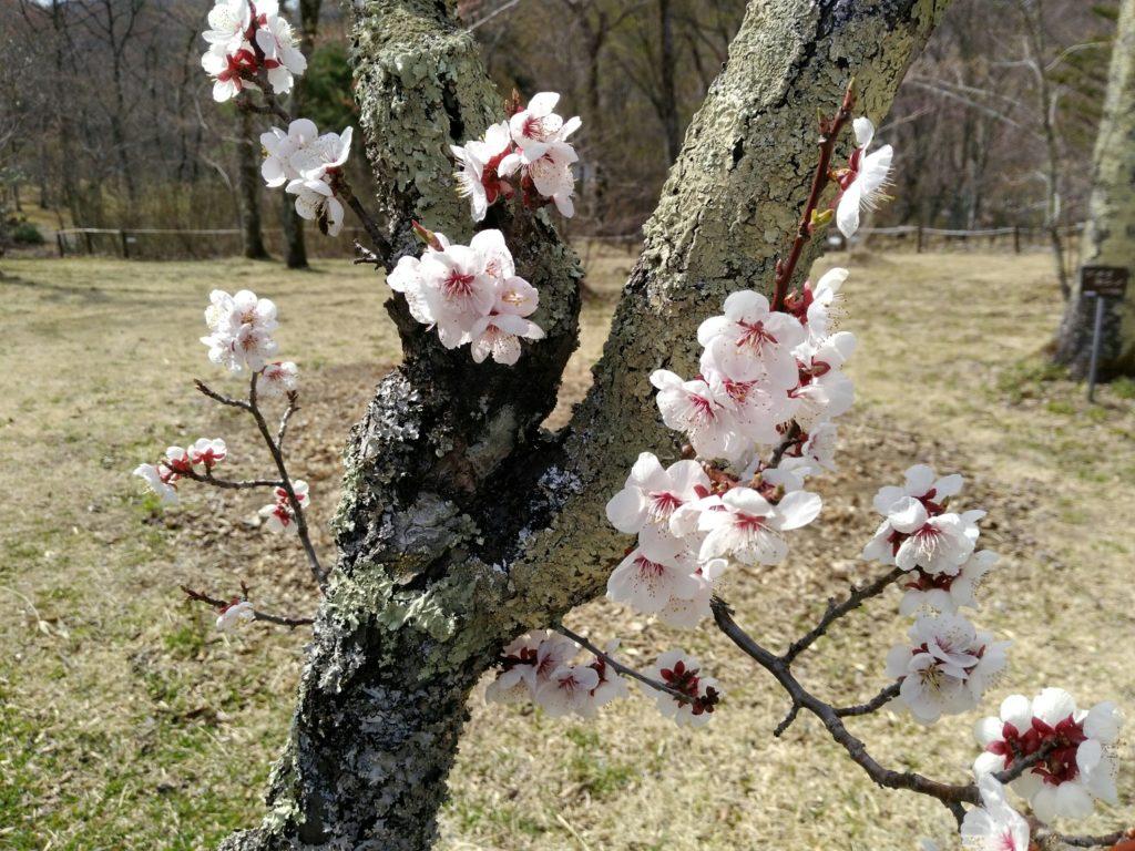 仙台市秋保大滝植物園 桜