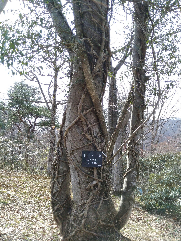 仙台市秋保大滝植物園 キヅタ