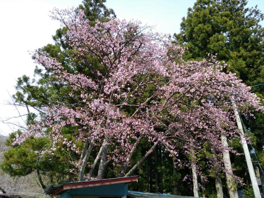 秋保大滝不動尊の桜