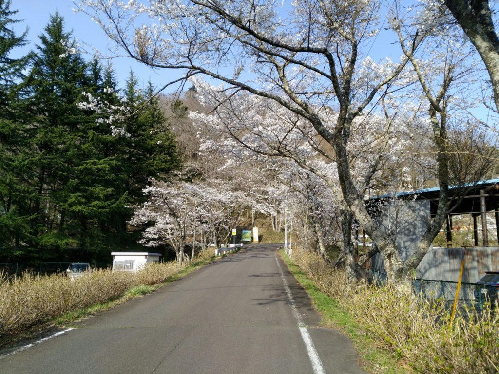 秋保森林スポーツ公園の桜並木