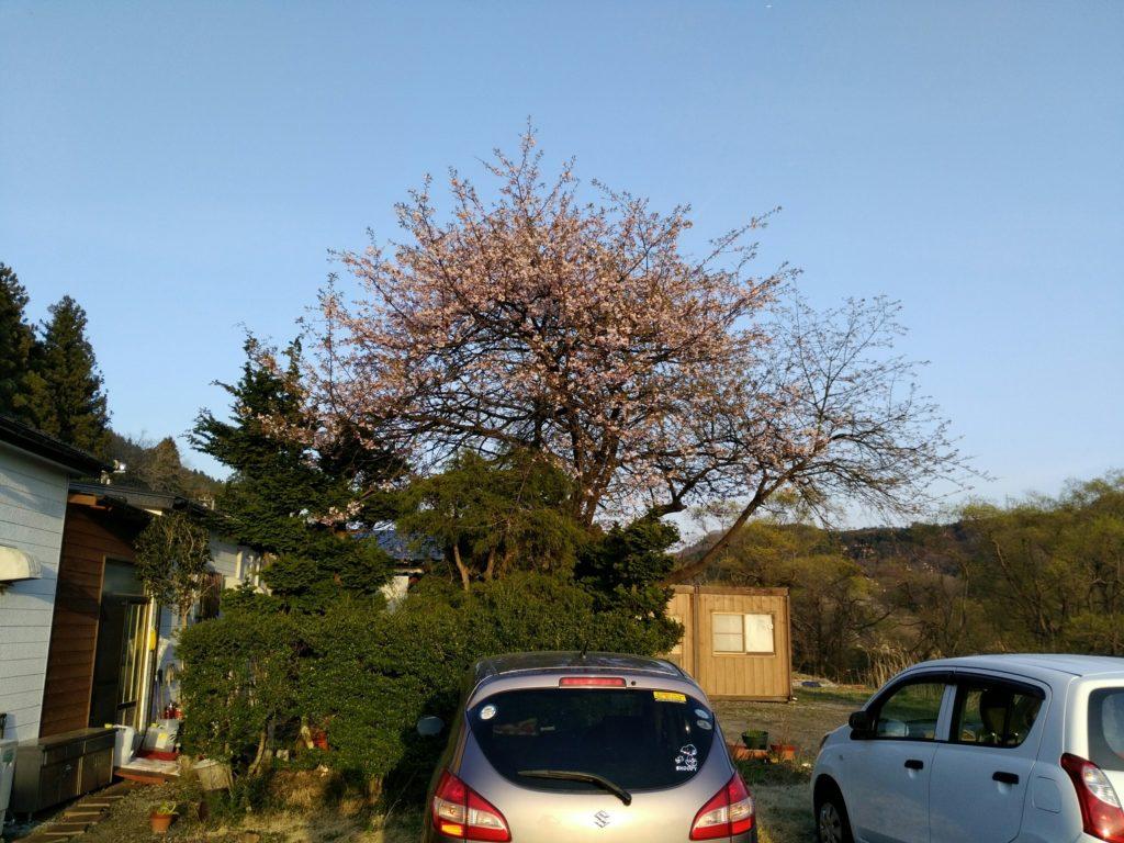 たべにおいで龍宝の桜