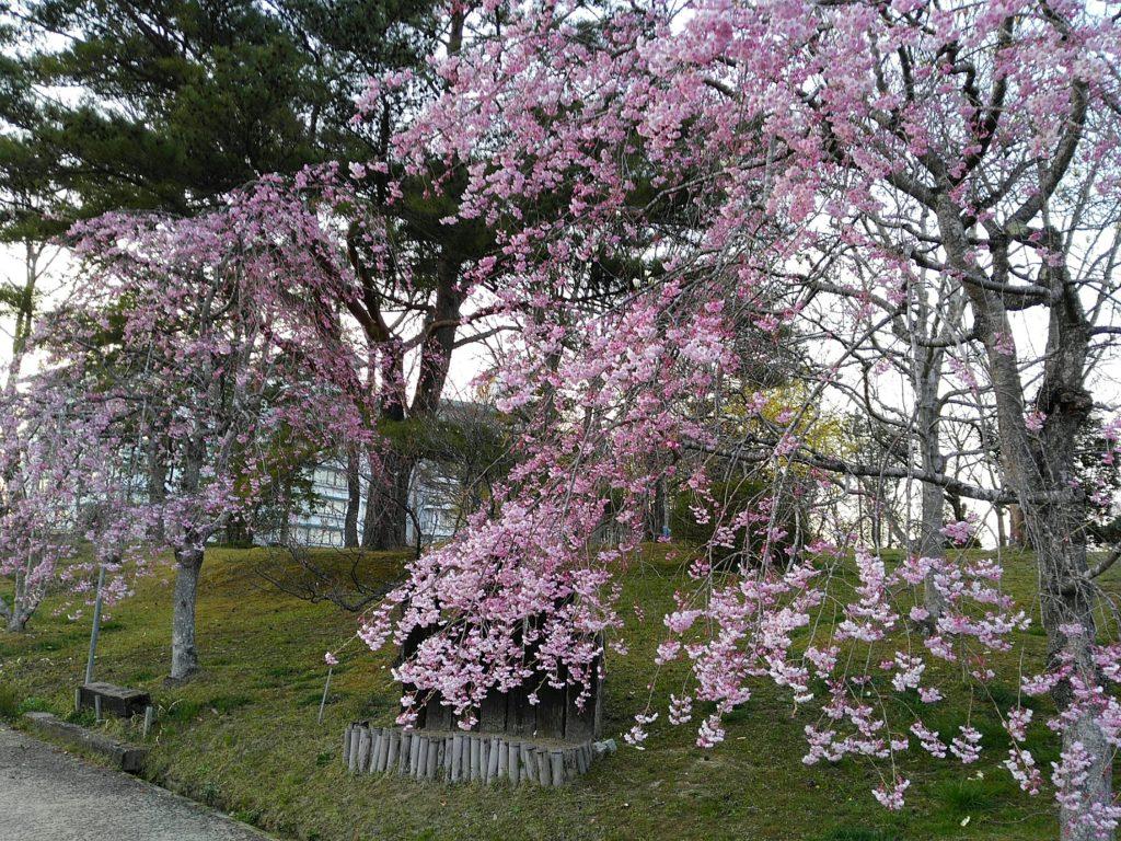 秋保 緑水亭 桜