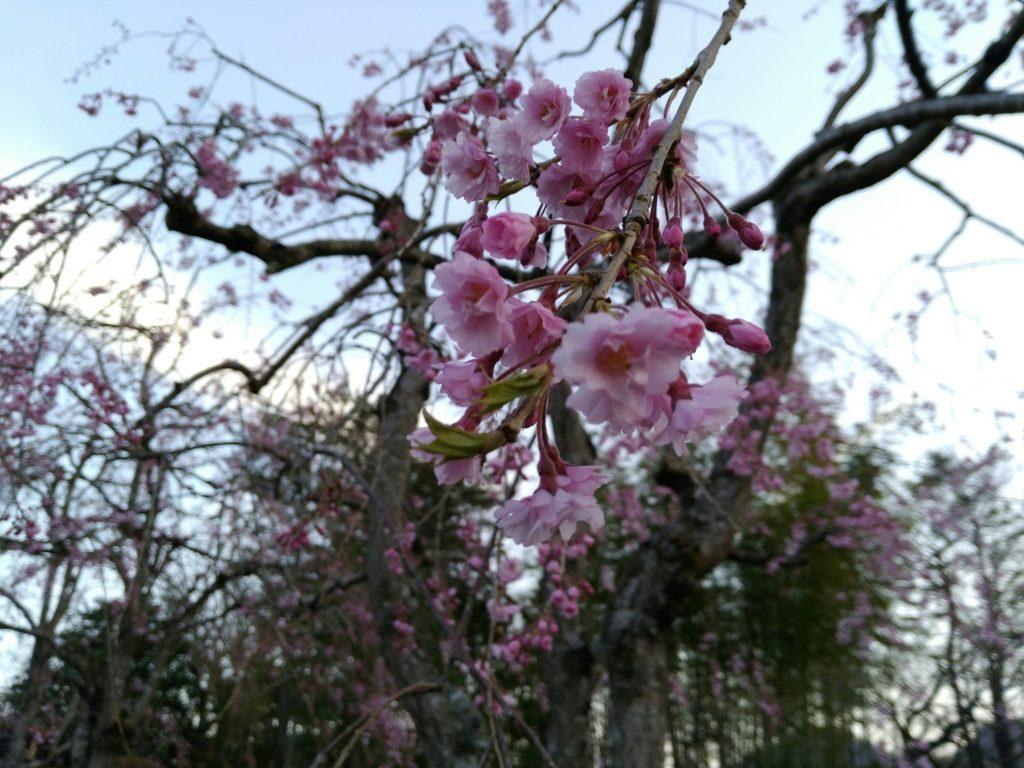秋保温泉 緑水亭の桜