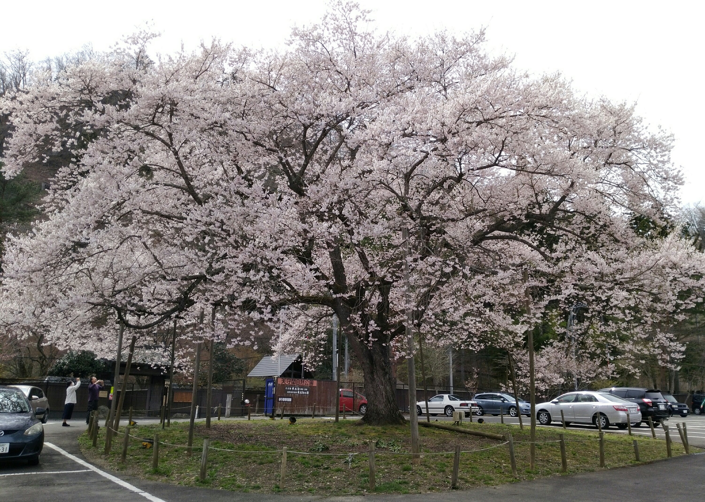 秋保 木の家 エドヒガン桜