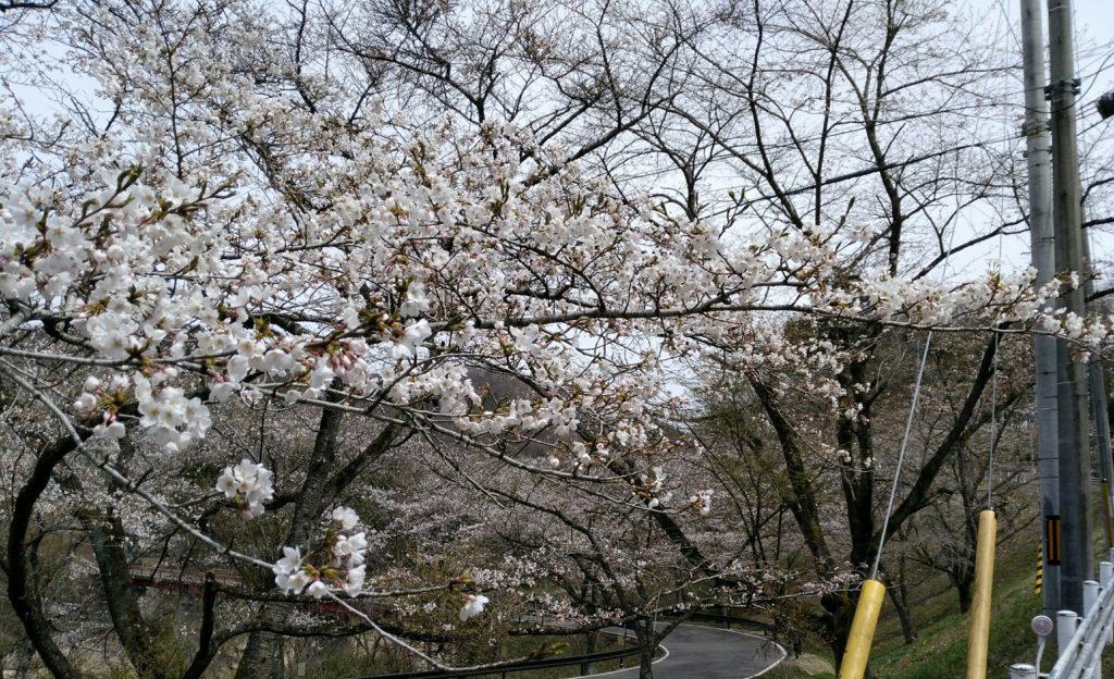 秋保羽山橋の桜