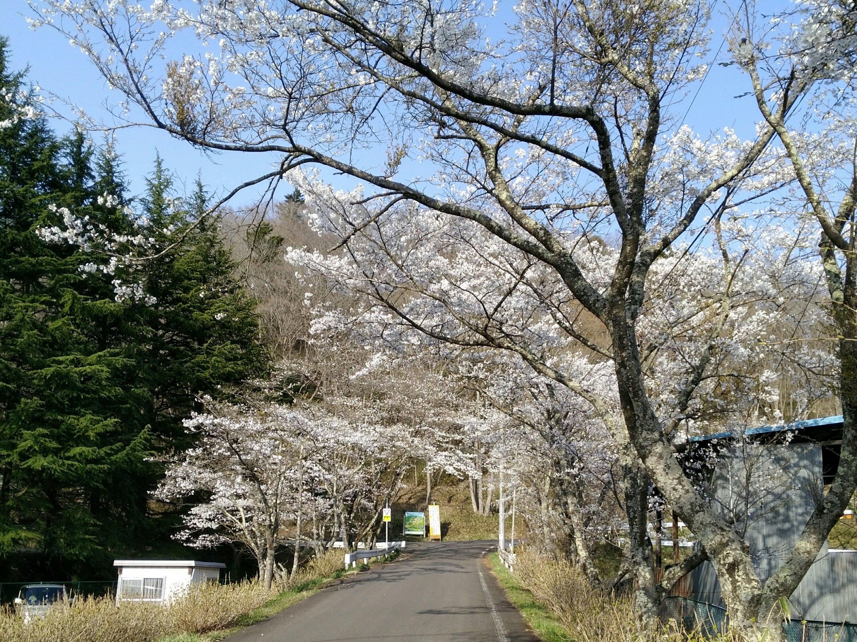 秋保森林スポーツ公園 桜並木