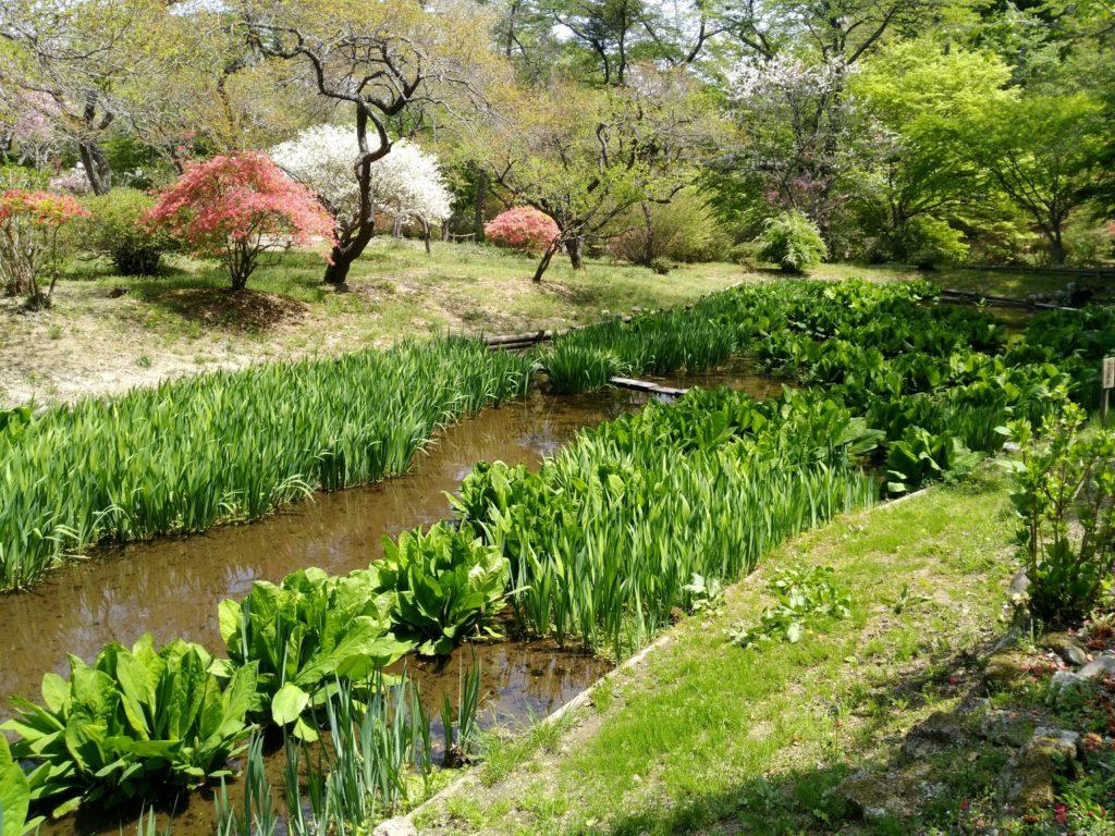 秋保 天守閣自然公園 水芭蕉池