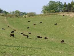 宮城県白石市 白石牧場 放牧牛