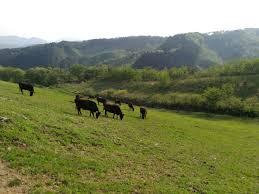 白石牧場 牛