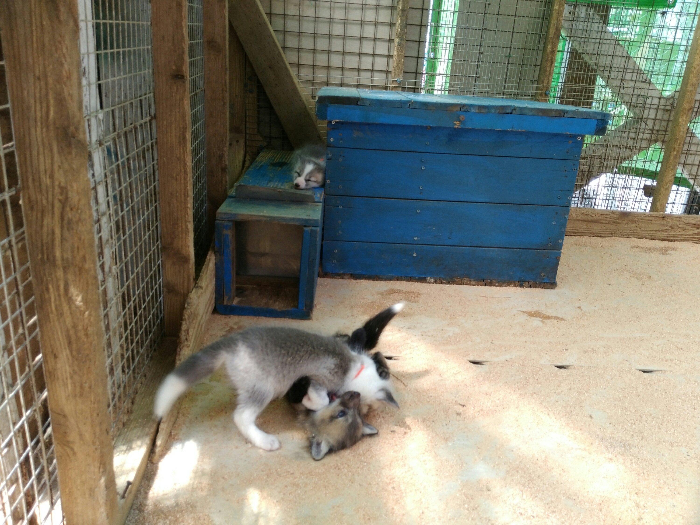 Fox Village in Miyagi Zao (Shiroishi, Japan) child fox