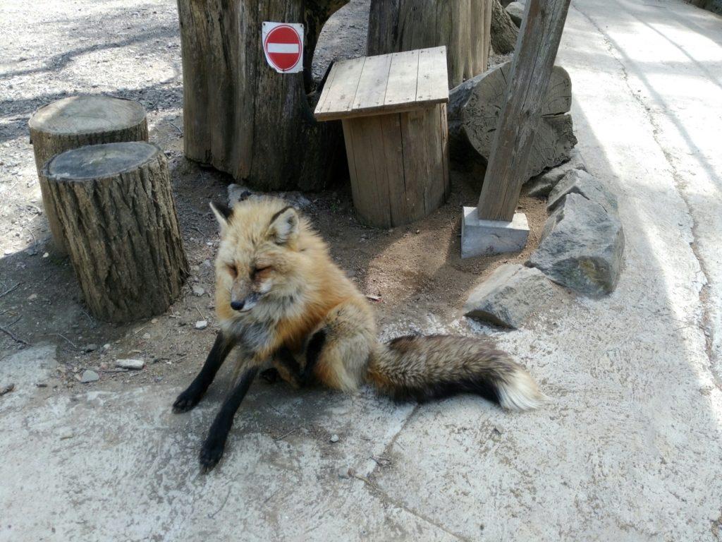 宮城蔵王キツネ村 狐
