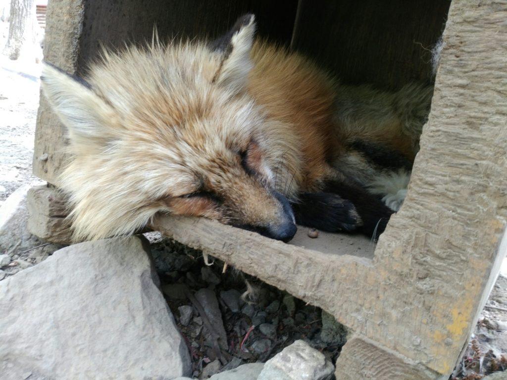 宮城蔵王キツネ村 寝ている狐