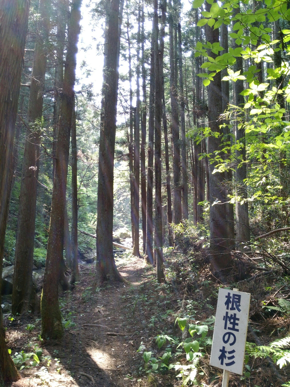 角田市 入の坊 根性の杉