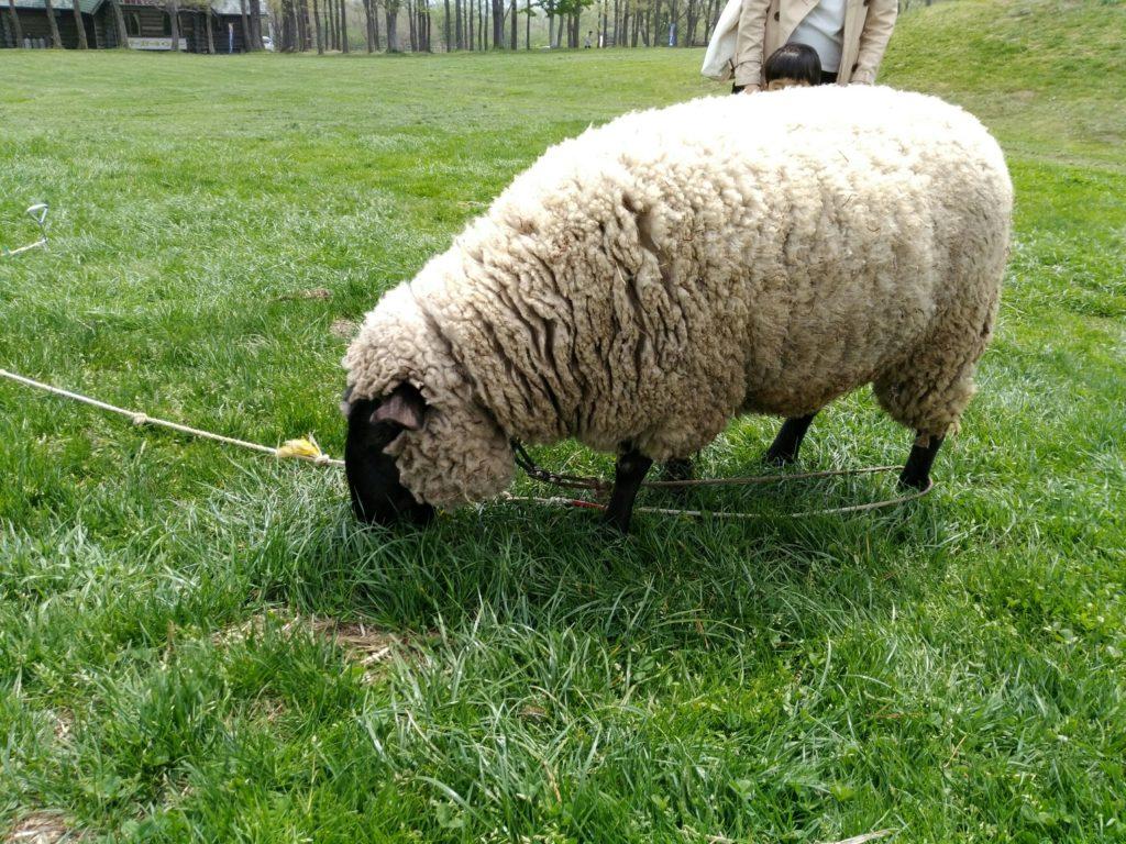 蔵王ハートランド 羊