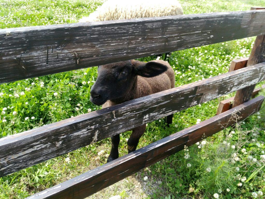 岩沼 ひつじ村 子羊