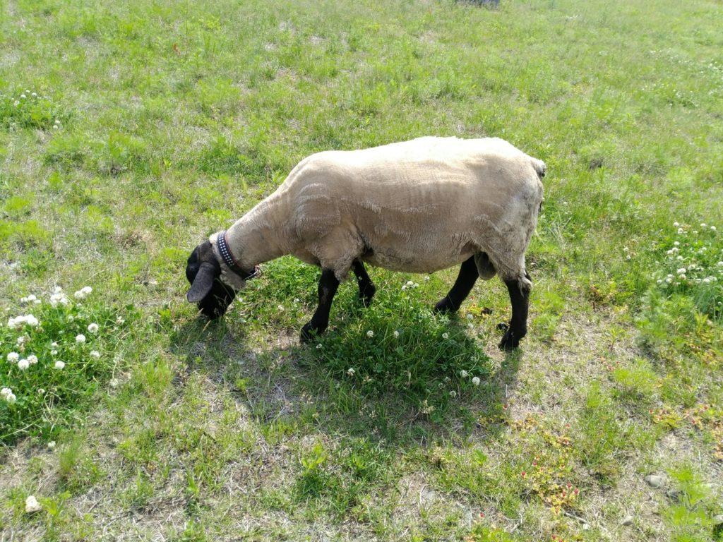 毛を刈りたての羊