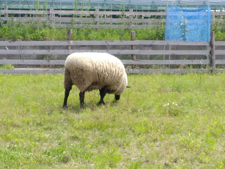 モコモコ羊