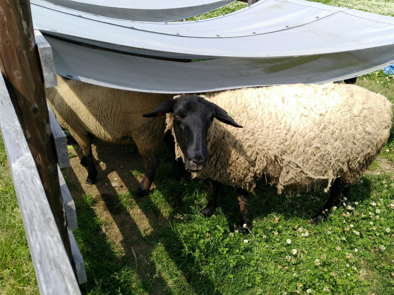 はみ出している羊