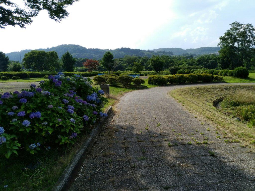 白石川緑地公園に咲いていたアジサイ