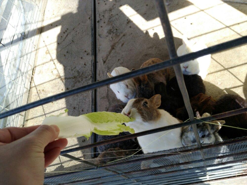 白菜を食べるウサギ