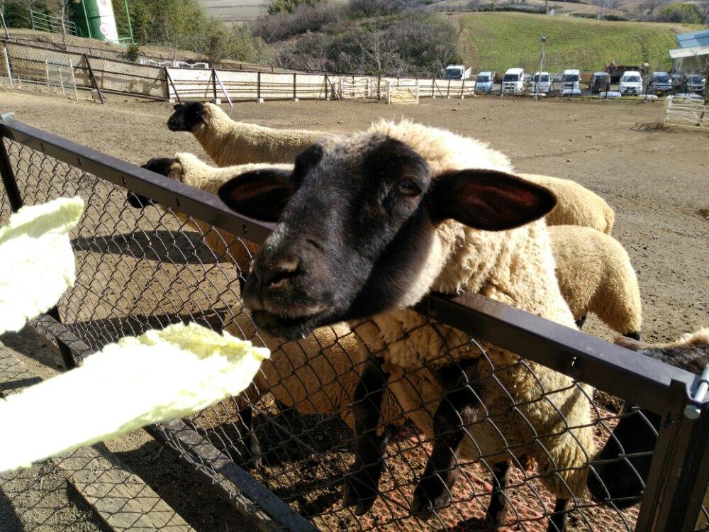 白菜を食べる羊
