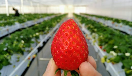 【体験レポート】名取市のイチゴ農園「ラ・フレーズ」でいちご狩り