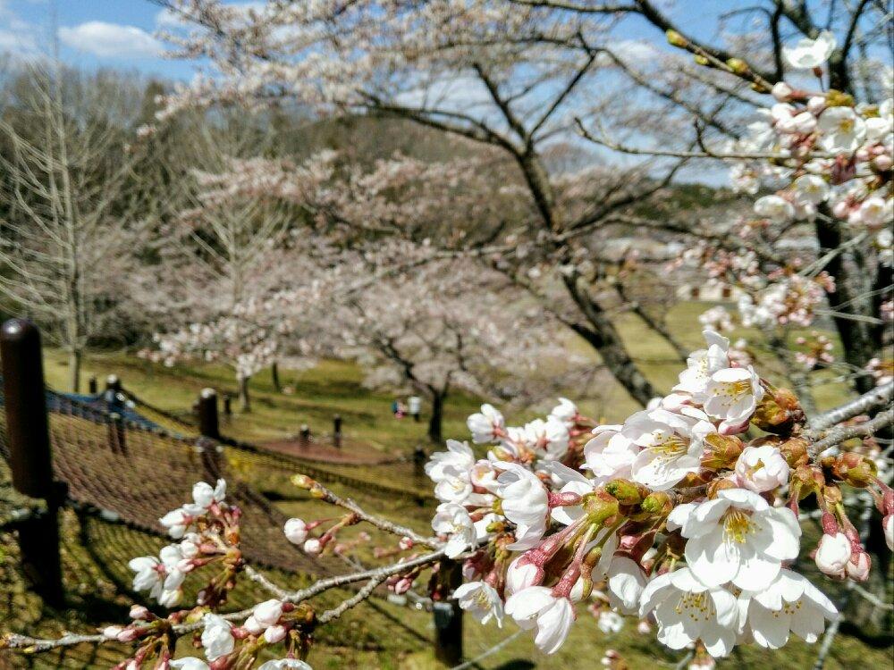 グリーンピア岩沼の桜