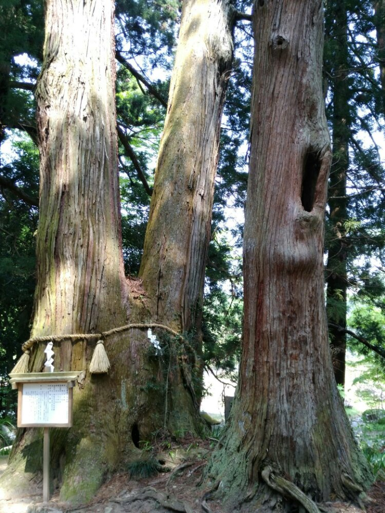 高蔵寺の御神木