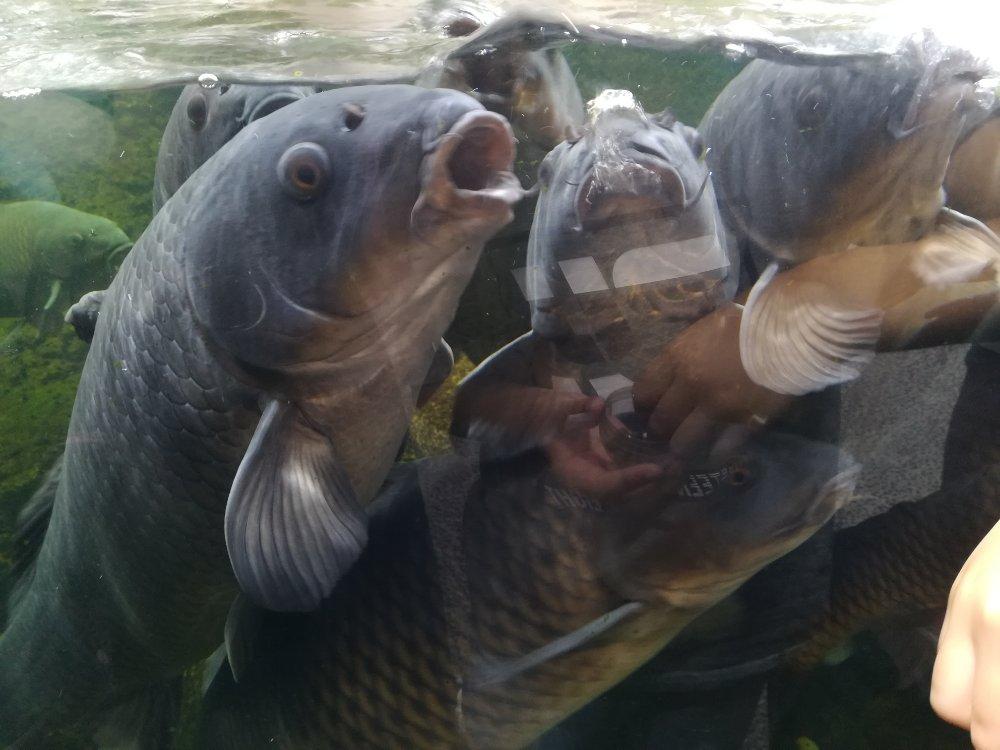 仙台うみの杜水族館で鯉にエサやり