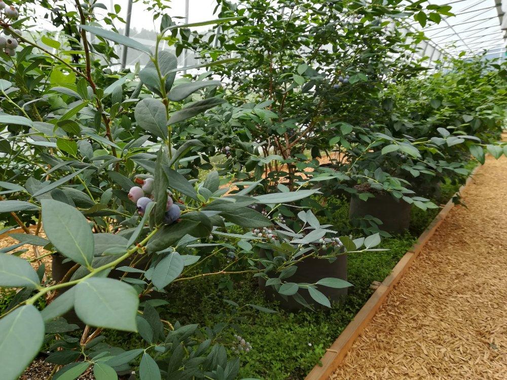 名取市高舘のブルーベリー園