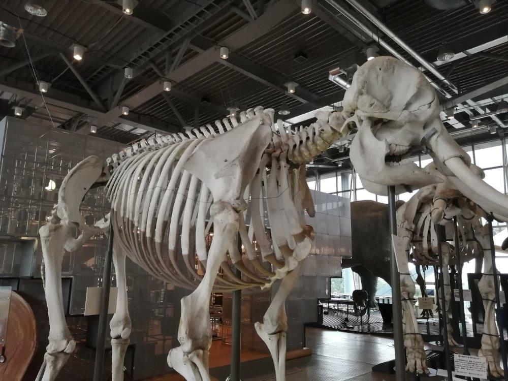仙台市科学館 恐竜の化石