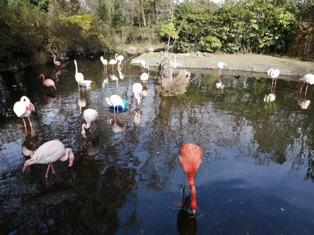 八木山動物公園のフラミンゴ