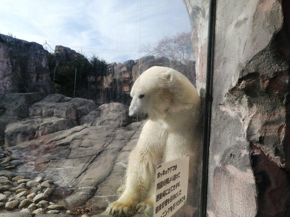 八木山動物公園のシロクマ
