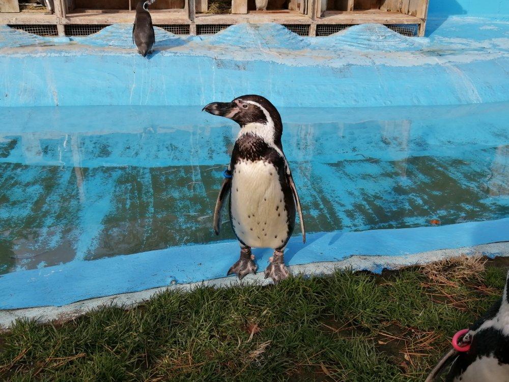 八木山動物公園のペンギン