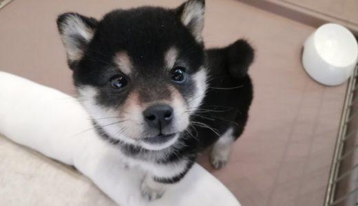 卸町のコワーキングスペースARROWSSSに豆柴犬が誕生!
