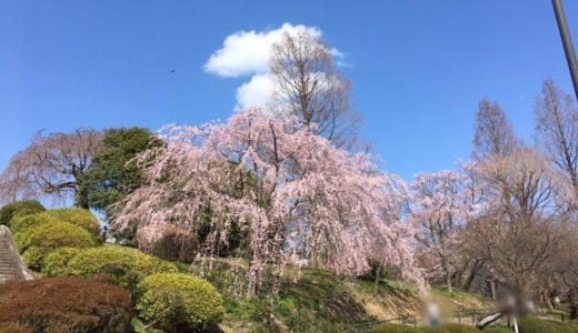 【榴岡公園】桜の開花状況|2020年4月3日
