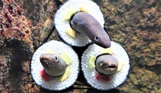 【仙台うみの杜水族館】アナゴの恵方巻水槽を展示|2021年1月16日から